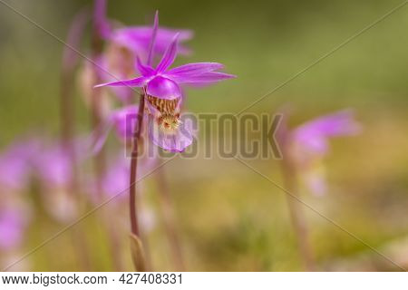 Beautiful Wild Orchid, Calypso Orchid, Fairy Slipper (calypso Bulbosa), Blooming In Spring In Finnis