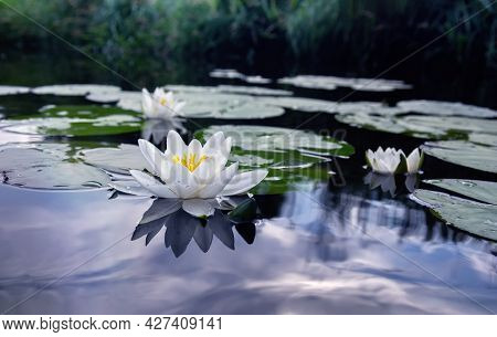 Blooming White Water Lilies In The Pond. Nymphaea Alba. Close Up.