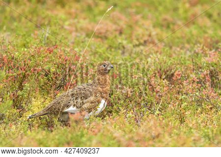 Willow Ptarmigan, Lagopus Lagopus Among Different Colorful Shrubs During Autumn Foliage In Finnish L