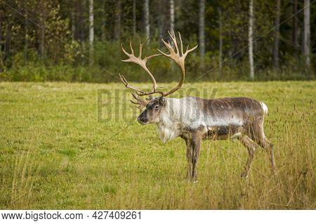 Gorgeous Big Male Reindeer (rangifer Tarandus) Standing Alone On Autumnal Grassland
