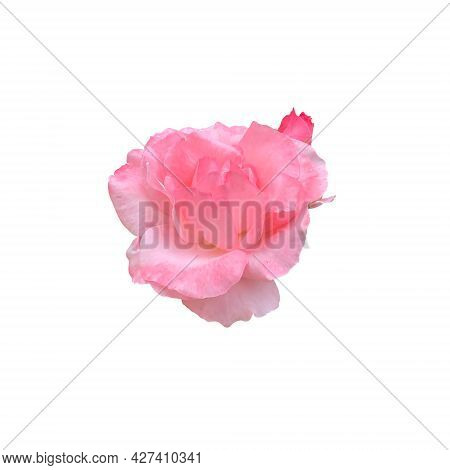 Pink Isolated Rose Delicate Flower On The White Background, Cutout Object For Decor, Design, Invitat