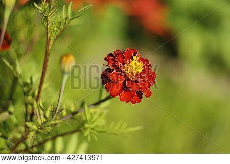 One Dark Red Saffron Flower On A Blurred Green Background