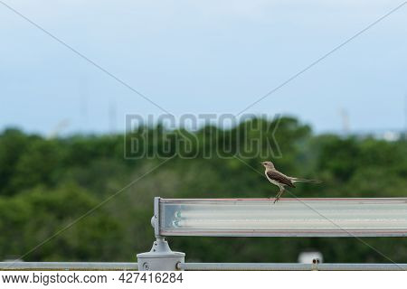 Isolated Mockingbird Perched On A Light Overlooking The Treetops