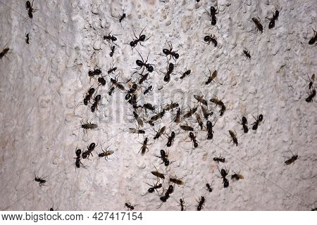 During The Rainy Days, Ants Flock To The Wall, In The Rain, Wings Of Ants Start Coming Out