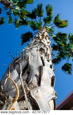 Photo Of Palm From Bottom To Top. Bottom View Texture Of Trunk Of Palm Tree On Background Of Palm Le
