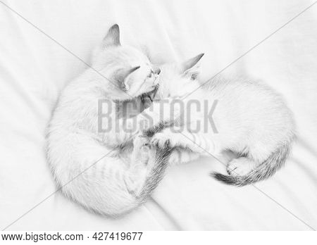 Small Cute Kittens Relax On White Sheets. Baby Cat. Cute White Kittens. Tender And Lovely. White Kit