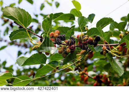 Branches Of The Mulberry Tree With Ripening Fruits. Ripe Mulberry On Tree With Green Foliage. Harves