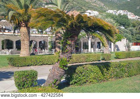 Palm Trees In Milocer Park. Sveti Stefan, Montenegro.
