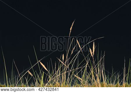 Field Grass On A Dark Background. Grass On A Black Background. Dry Meadow Grass.