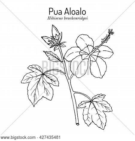 Pua Aloalo, Or Yellow Hibiscus Hibiscus Brackenridgei , State Flower Of Hawaii. Hand Drawn Botanical