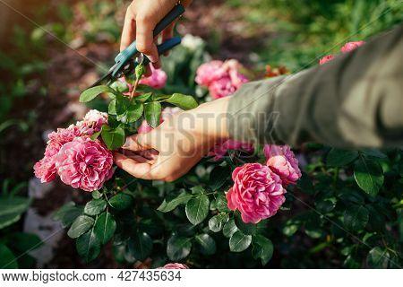 Woman Deadheading Dry Leonardo Da Vinci Rose In Summer Garden. Gardener Cutting Wilted Spent Flowers