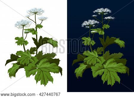Toxic Hogweed Plant. Cow-bream. Heracleum Plant. Heracleum Sosnowski Full Size Isolated On White Vec