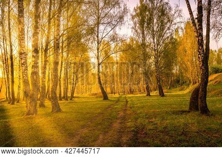 Sunrise Or Sunset In A Spring Birch Forest With Rays Of Sun Shining Through Tree Trunks By Shadows A