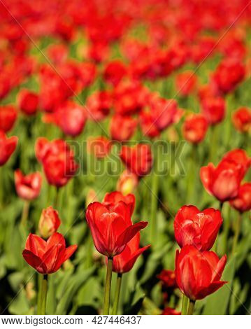 A Field Of Red Blooming Tulips Illuminated By The Sun.