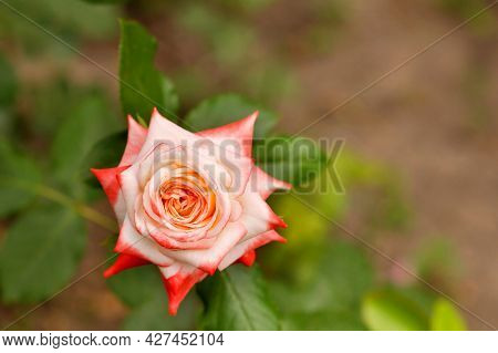 Blooming Open Scarlet Rose Flower Bud With Sharp Edged Petals On A Dark Green Blurry Leaves Backgrou