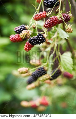 Many Ripe And Unripe Organic Blackberries Growing On A Bush In A Summer Garden
