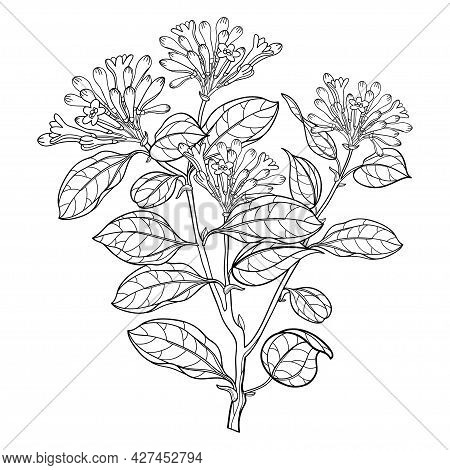 Vector Branch Of Outline Toxic Strychnos Nux-vomica Or Poison Nut Flower Bunch With Bud And Leaf In