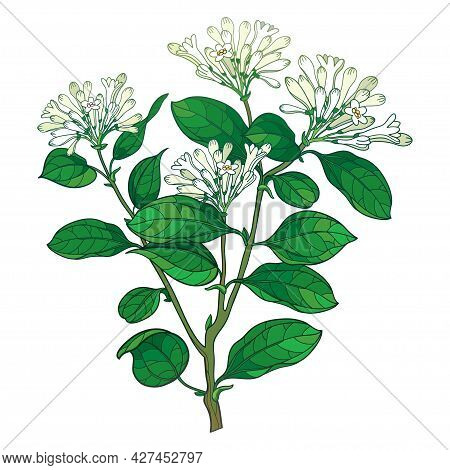 Vector Branch Of Outline Toxic Strychnos Nux-vomica Or Poison Nut Flower Bunch With Bud And Green Le