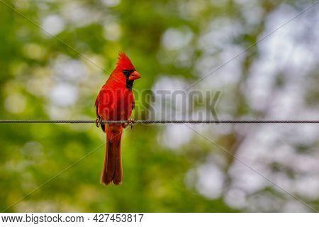 Northern Cardinal (cardinalis Cardinalis) Perched On A Wire During Summer.