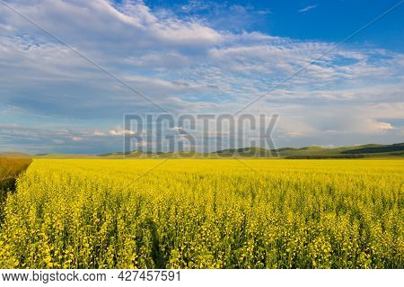 Summer Sunny Landscape With Yellow Fields Of Blooming Rapeseed Under A Gorgeous Blue Sky With Clouds