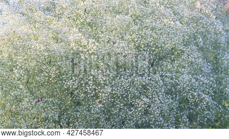 Snow-white Numerous Small Flowers Of Gypsophila Create An Airy White Cloud Background.