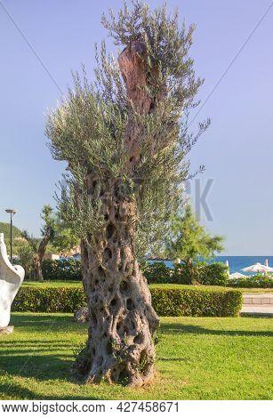 Old European Olive Tree With Leaves. Sveti Stefan, Montenegro.