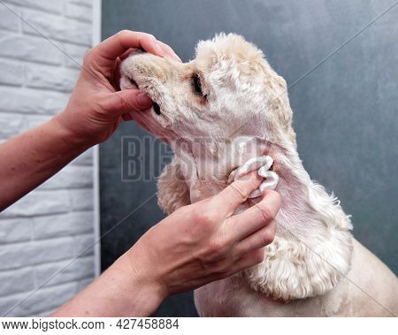 Cleaning The Ears Of An American Cocker Spaniel In A Dog Salon.