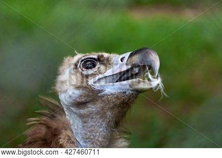 Close-up Of The Head Of A Griffon Vulture, A Photo Of A Scavenger Showing Details Of Feathers And A