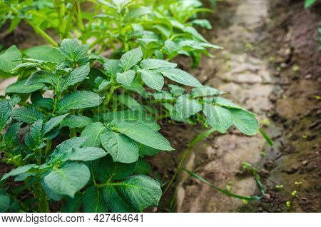 Potato Bushes On A Farm Plantation. Agroindustry Agribusiness. Growing Food Vegetables. Agricultural
