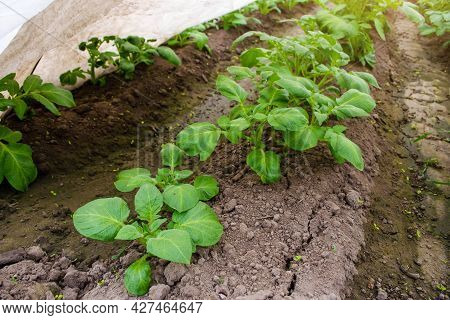 Rows Of Young Bushes Potato Plantation. Farming And Agriculture. Agroindustry Agribusiness. Growing