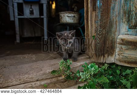 Dark Gray Kitten Sits In The Barn Doorway. The Cat Looks Out Of The Old Utility Room Near The Wooden