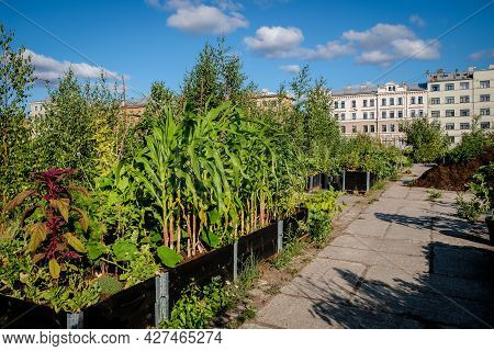 Urban Gardening - Community Garden In Center Of The City With Raised Beds. Urban Horticulture. Selec