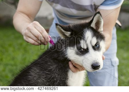 Close Up Of Man Dripping  A Parasite Remedy On The Withers Of His Dog. Tick And Flea Prevention For