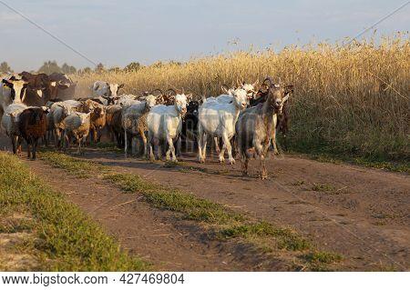 A Herd Of Livestock Walking Along A Dirt Road.
