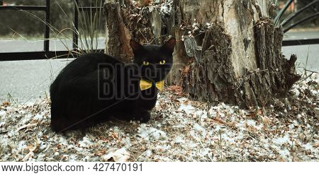 A Black Cat Sits By A Stump With A Yellow Bow Tie. A Black Cat Sits On The Ground Covered With Dande