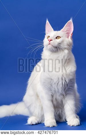 Portrait Of Longhair Cat Breed Maine Shag Cat. Sweet White Color Animal American Forest Cat Sitting.
