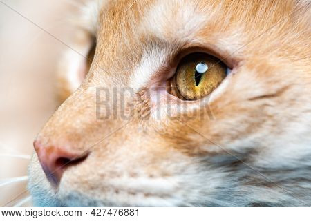 Extreme Close-up Portrait Of Maine Shag Cat. Lovely Longhair Red Tabby Maine Coon With Big Eyes Look