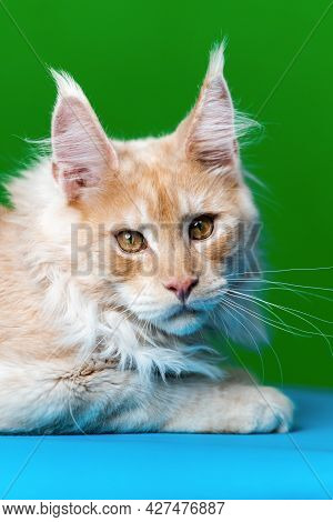 Portrait Of Red Tabby American Forest Cat On Light Blue And Green Background. Head Of Cute Maine Coo