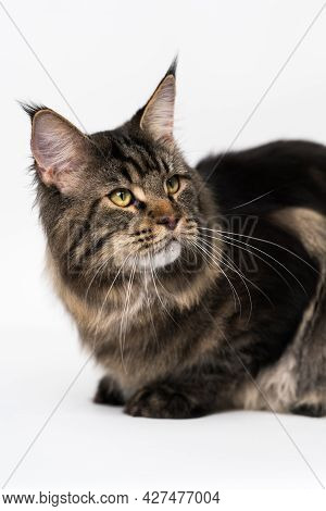 Beautiful Mackerel Tabby Maine Coon Cat. Portrait Of Adorable American Forest Cat. Affectionate Anim