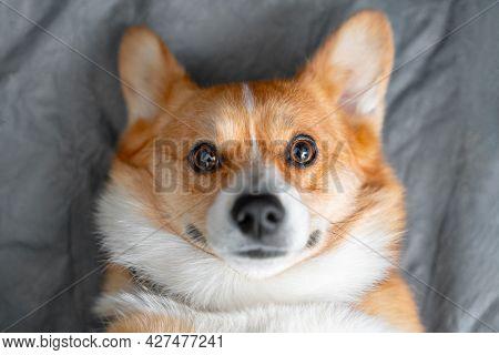 Portrait Of Lovely Smiling Welsh Corgi Pembroke Or Cardigan Dog Obediently Lying On Gray Sheet At Ho