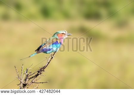 Lilac-breasted roller, coracias caudatus, perched on a branch in the Masai Mara, Kenya. Soft green foliage background with space for text.