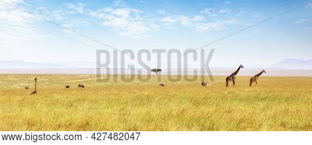 Masai giraffes and African elephants wandering in the lush grasslands of the Masai Mara. Panoramic shot in summer showing the wide open expanse of the savannah. Kenya.