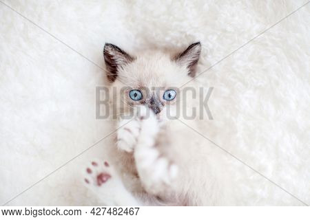Cut small kitten with blue eyes over white plaid. Little cat at home