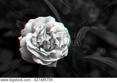 Single Rose On Dark Background With Glitch Effect In Black And White