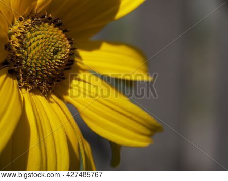 Arnica Montana, Also Known As Wolf's Bane, Leopard's Bane, Mountain Tobacco And Mountain Arnica. Arn