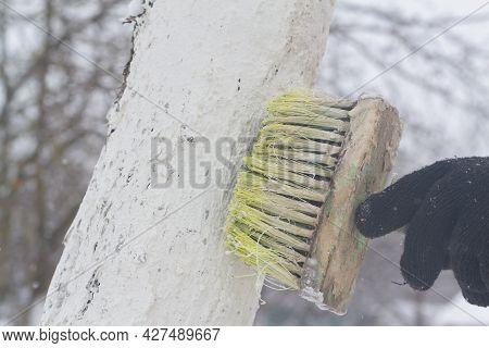 Man Whitewash Tree Trunks In The Garden In Spring Or Winter.