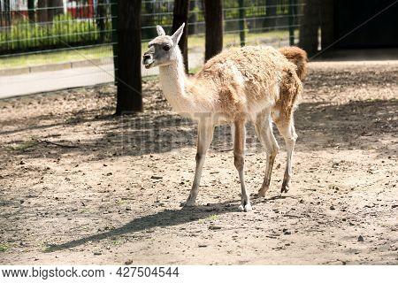 Cute Guanaco Walking At Zoo On Sunny Day