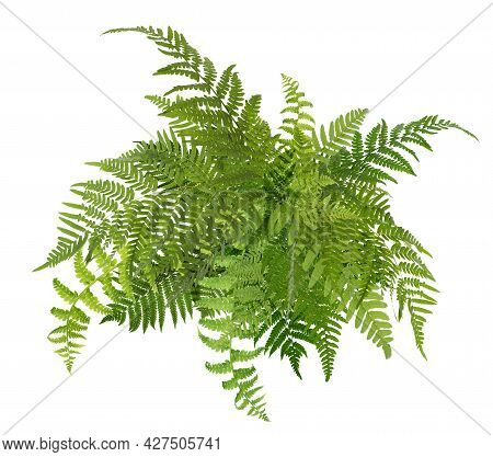 Beautiful Tropical Fern Leaves On White Background