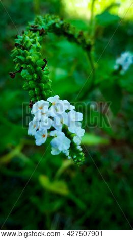 Cluster Of White Flowers .