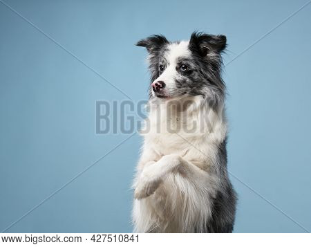 Funny Nice Dog, Border Collie On A Blue Background.